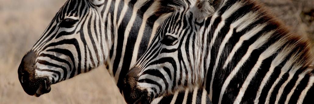 Zwei Zebras